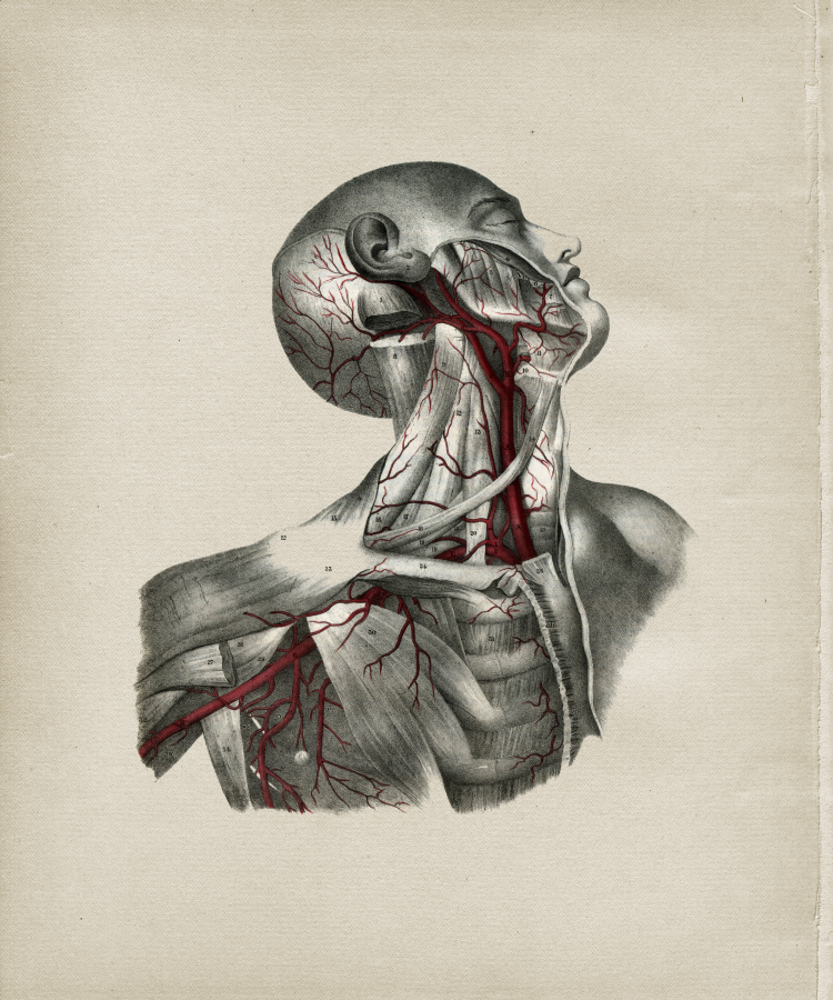 Deep Arteries Of The Head And Neck Print