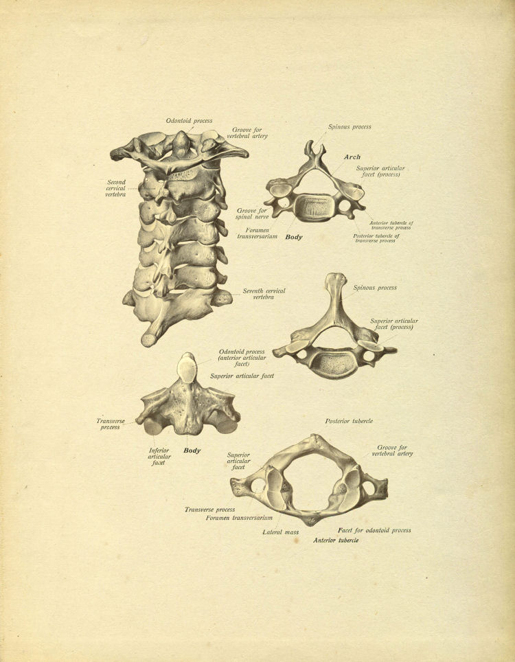 Vintage Reproduction Anatomical Plates