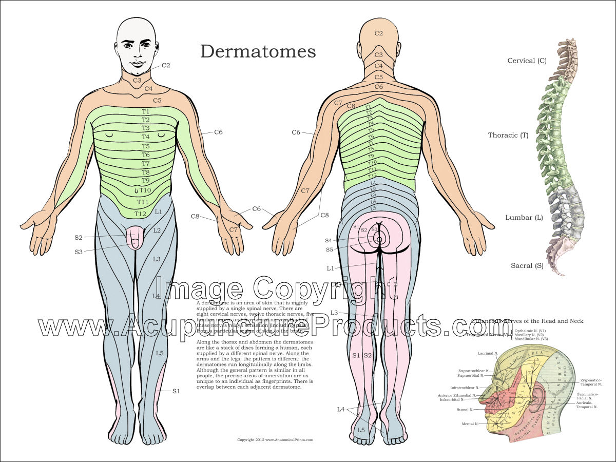 Dermatomes Of The Body Poster