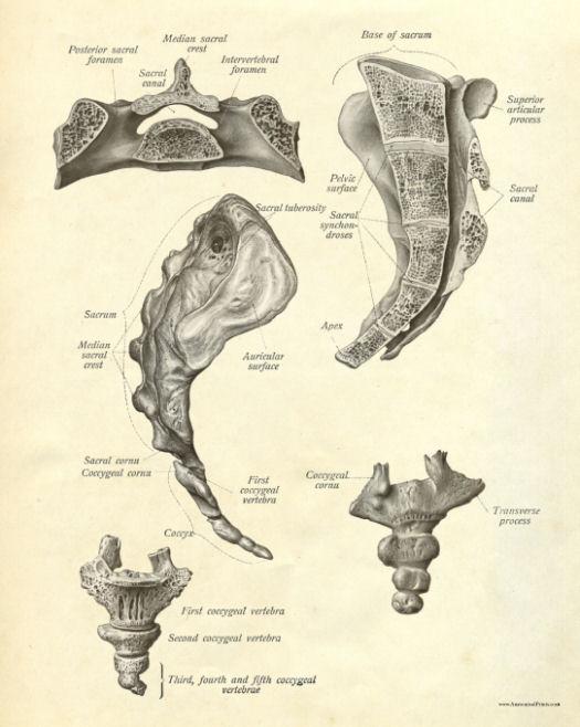 Anatomy of the sacrum