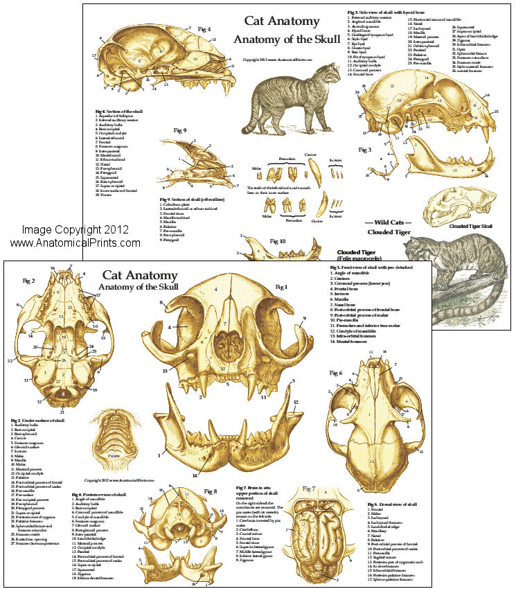 Diagram Of A Cat Skull 44tierarztpraxis Ruffy