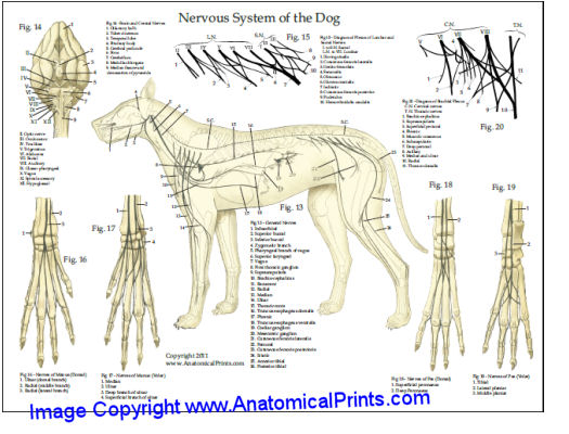 Dog Nerves Anatomy Chart