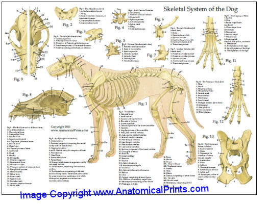 Dog Skeletal Anatomy Chart