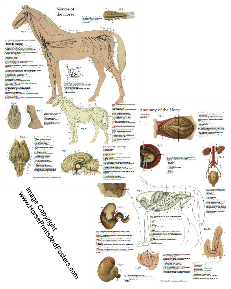 Horse Reproductive System