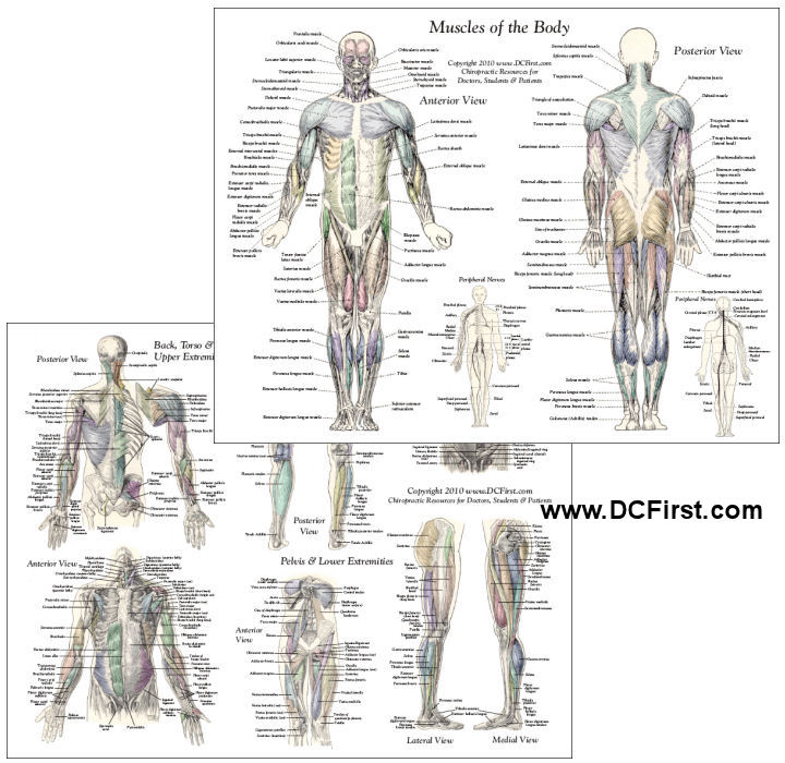 Anatomy of the human body muscles anatomy of the human body muscles