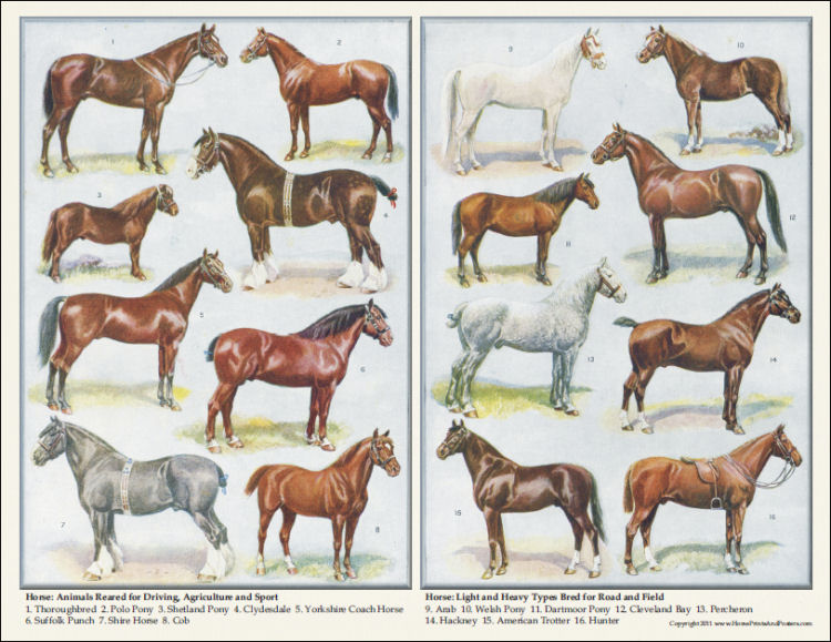 Breeds of Horses Poster