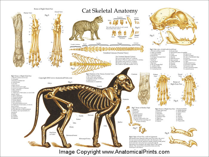 cat anatomy charts and posters : cat skeleton diagram - findchart.co