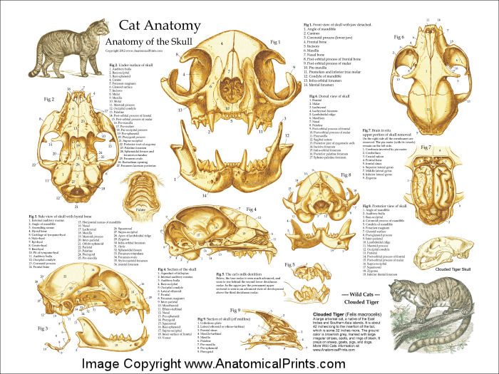 Cat Skull Anatomy Poster