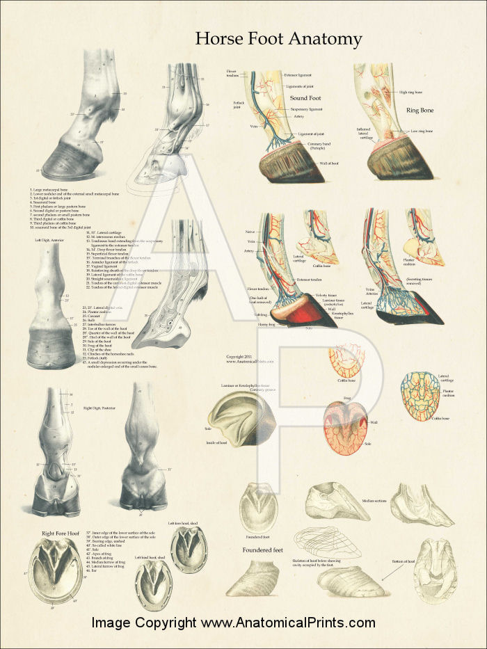 Horse Foot Anatomy Poster