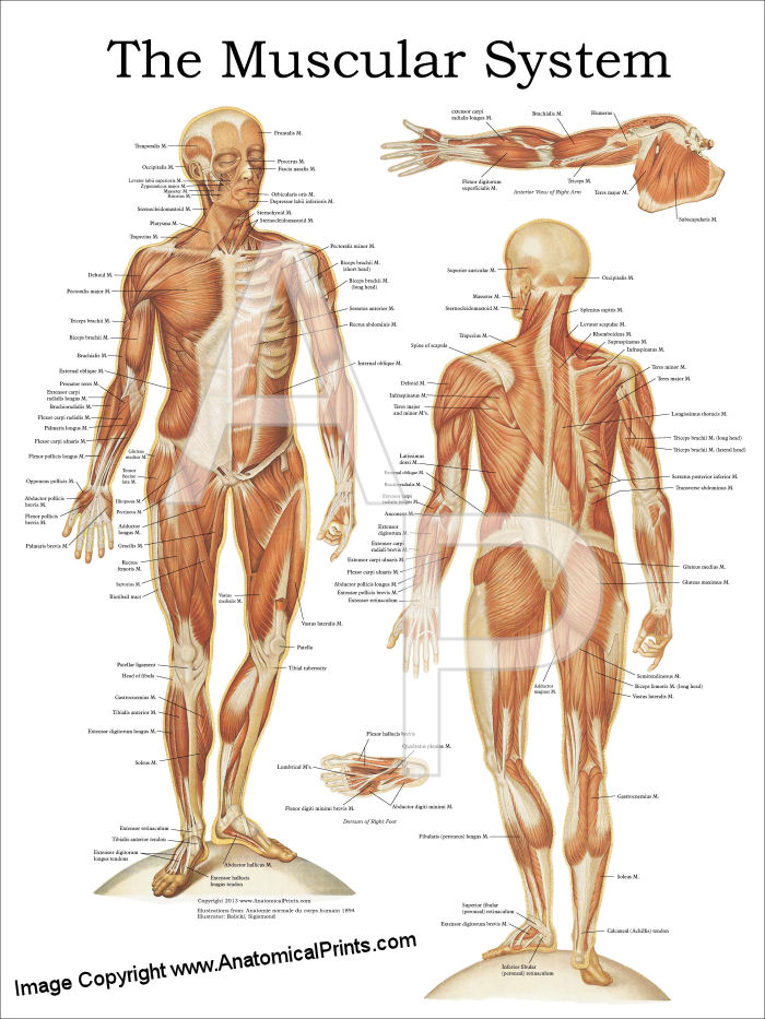 anatomical charts and posters,