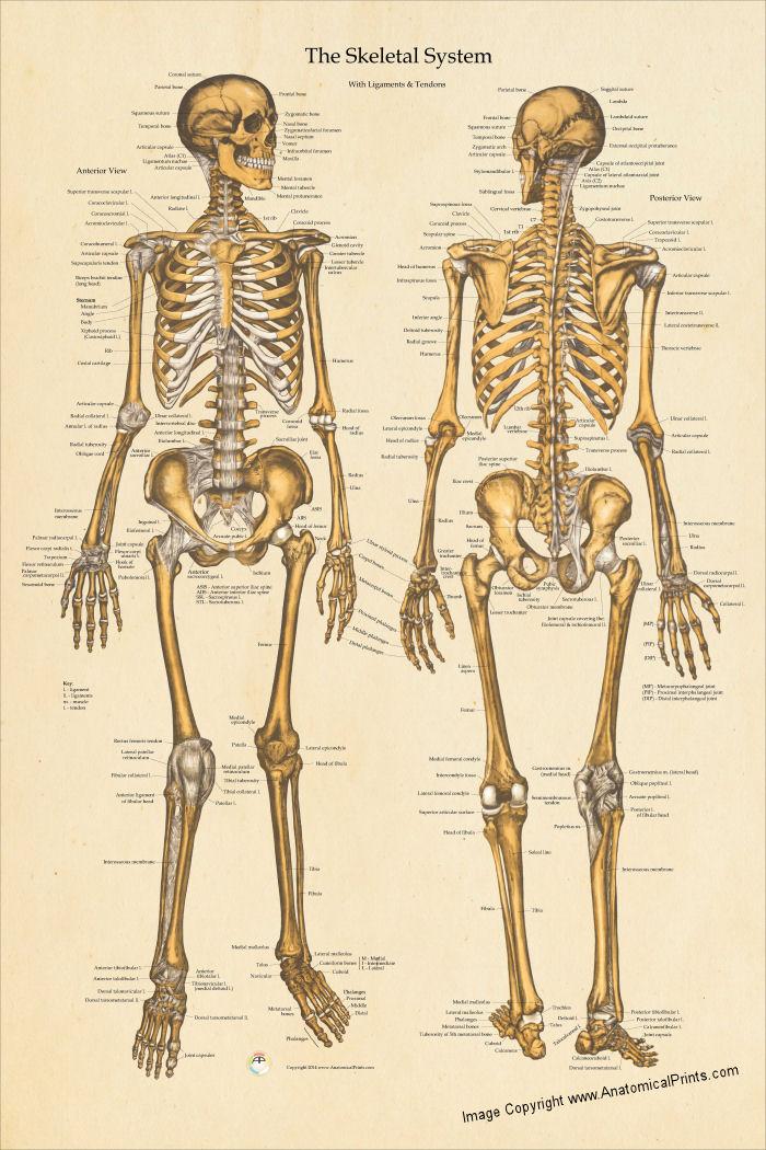 human skeletal anatomy poster 24 x 36, Skeleton