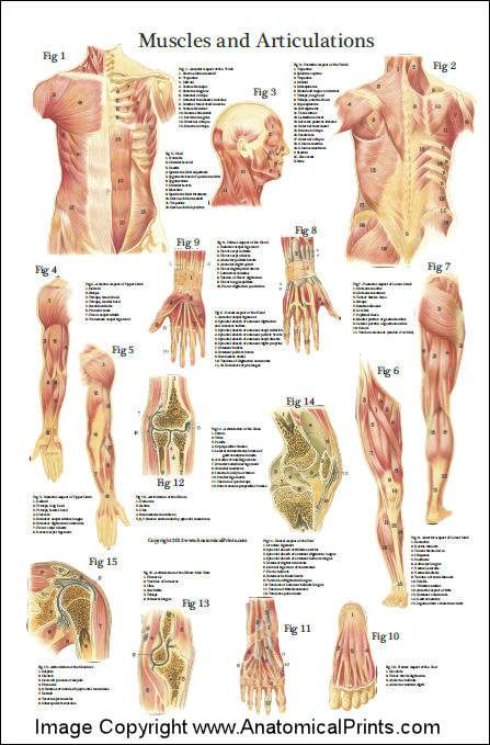 anatomical charts and posters 24 x 36, Muscles