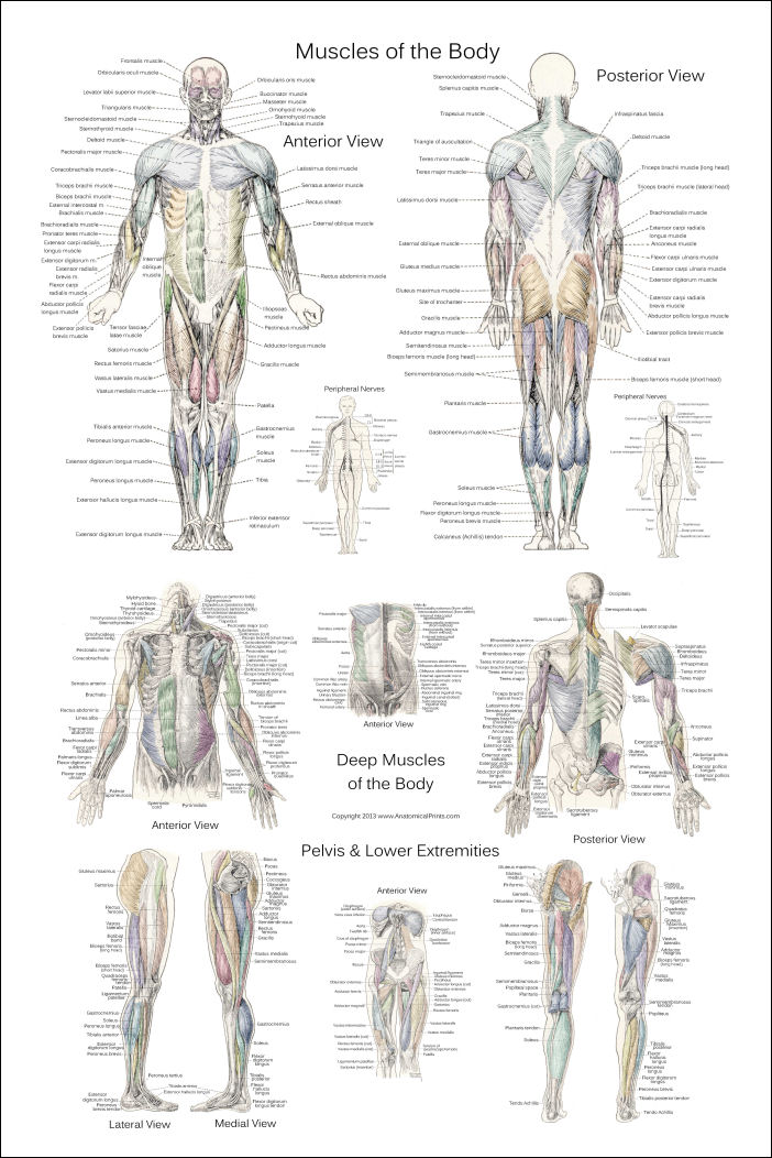 Muscle And Nerve Diagram Of The Human Body 36