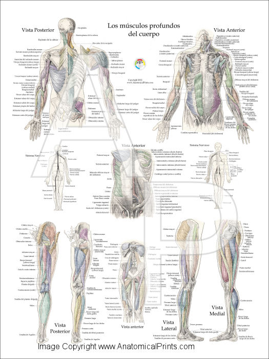 Muscles of the body diagram spanish new wiring diagram 2018 muscle anatomy posters in spanish posterior shoulder muscle diagram upper body diagram lower body muscles on muscles of the body diagram spanish ccuart Images