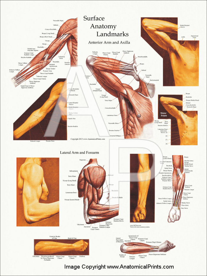 Arm muscle surface anatomy