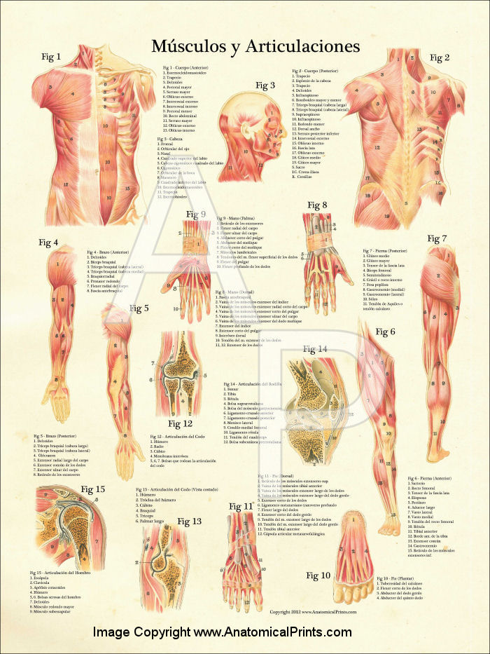 Spanish Anatomical Charts And Posters