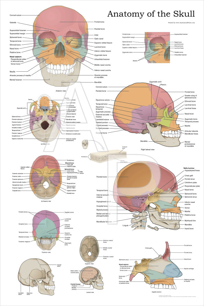 List Of Synonyms And Antonyms Of The Word Skull Anatomy