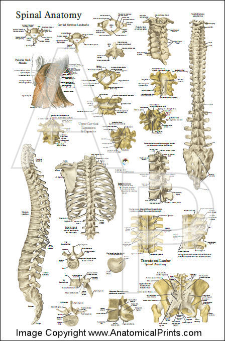Spine Anatomy Poster - Anterior, Posterior and Deep Layers