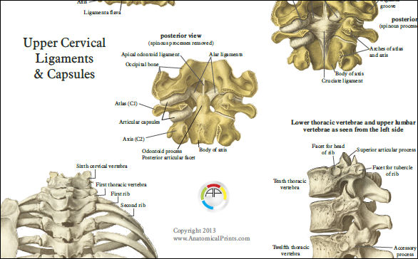 spine anatomy poster - anterior, posterior and deep layers, Cephalic Vein