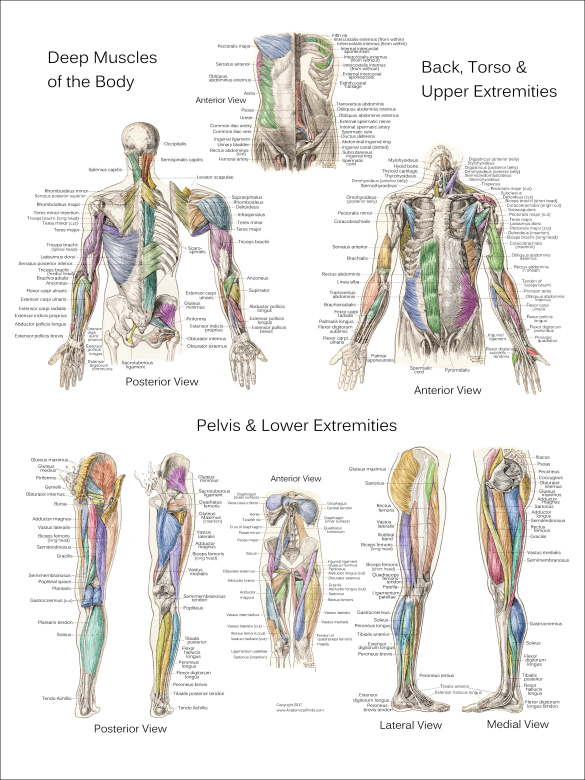 Deep Muscle Anatomy Posters