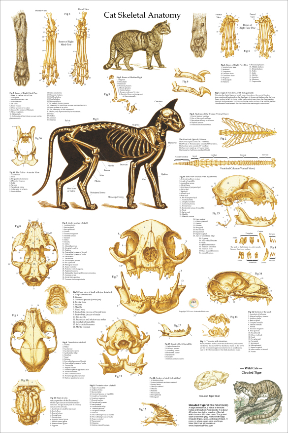 Cat Skeletal Anatomy Poster