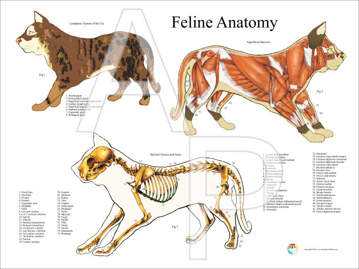 Anatomy of a male cat