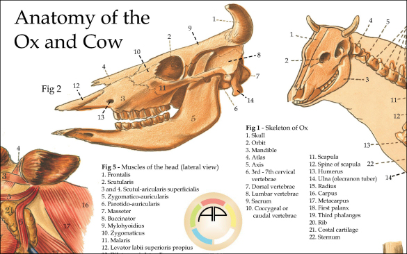 Cow Anatomy Poster