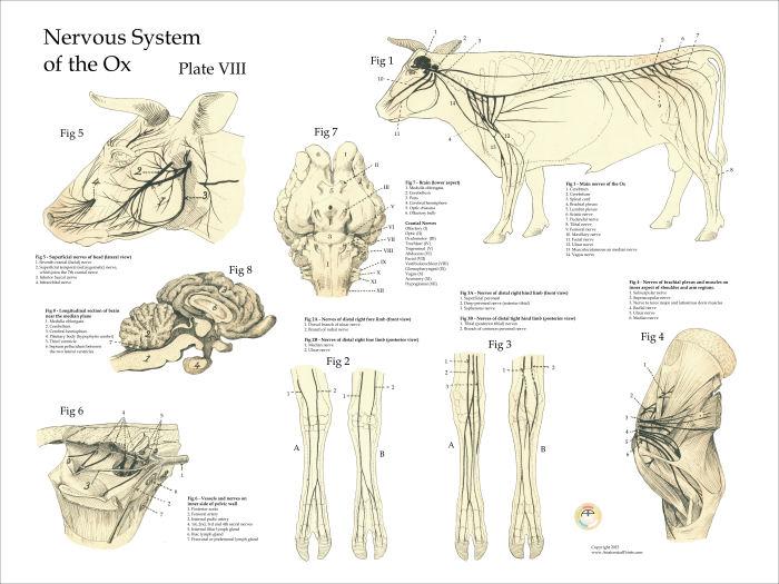 cow bovine nervous system poster 18