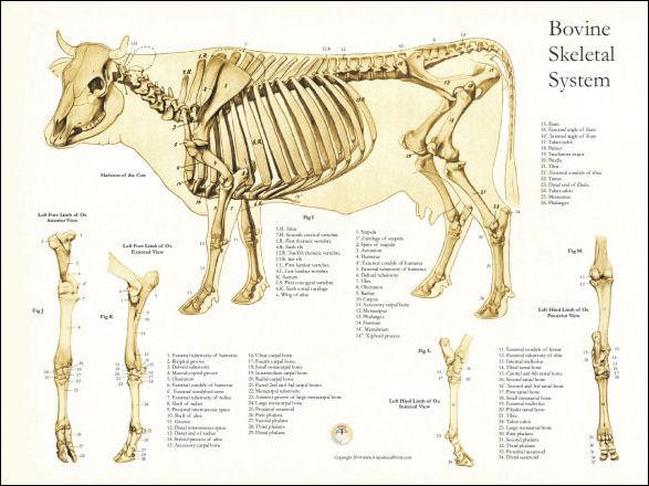 Bovine skeletal anatomy