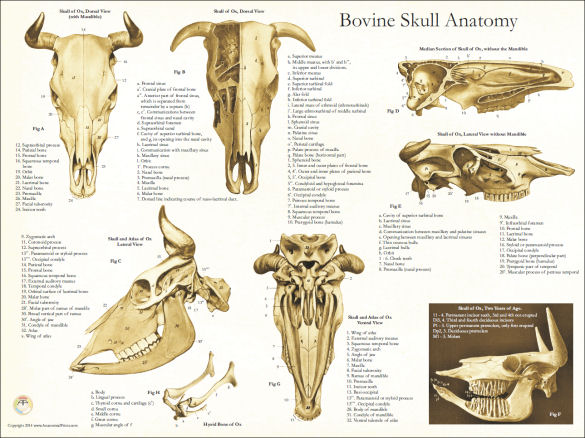 Bovine muscle anatomy