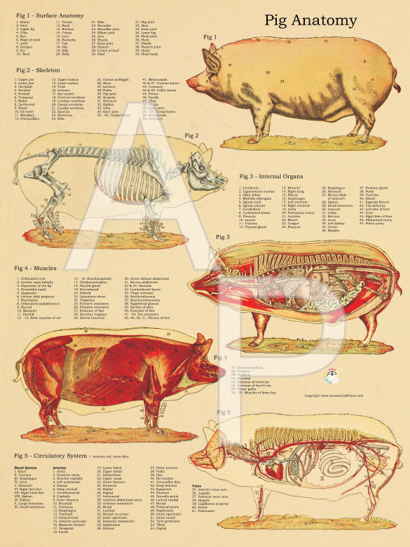 Pig Skeletal and Muscular Anatomy Poster