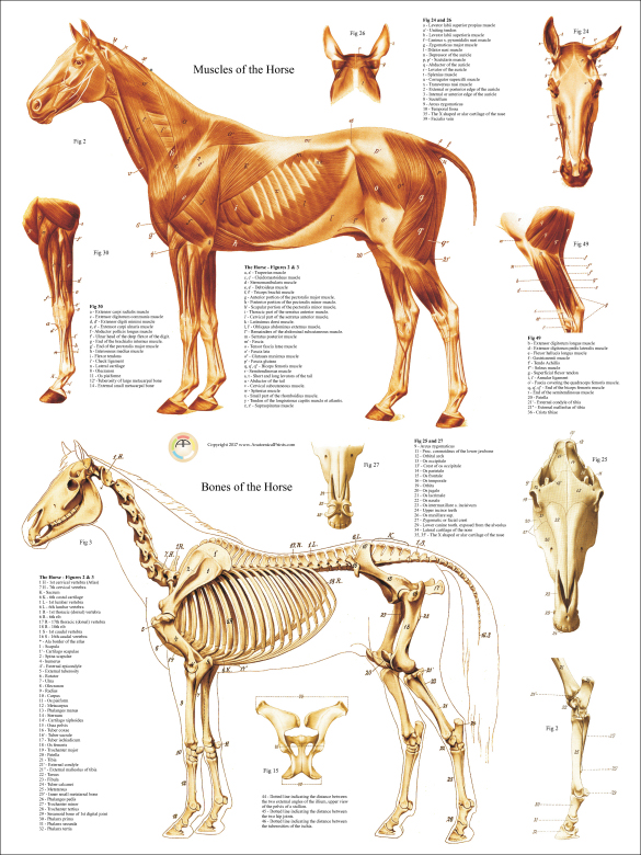 Horse Anatomy Poster Choice Image - human body anatomy