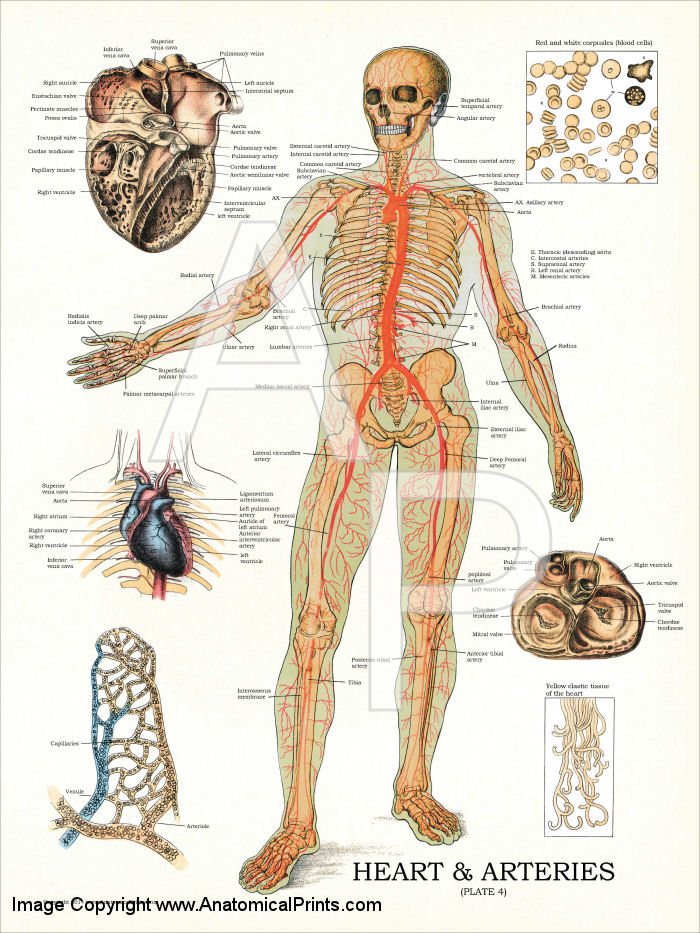 Heart and Arteries Anatomy Poster