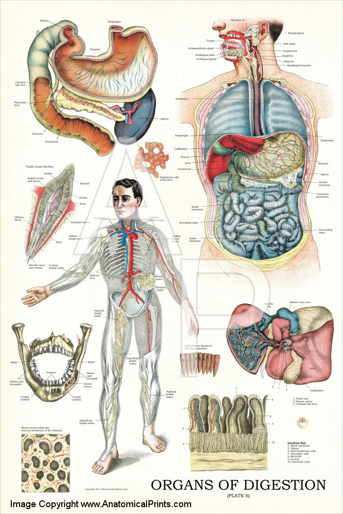 Organs of Digestion Anatomy Poster