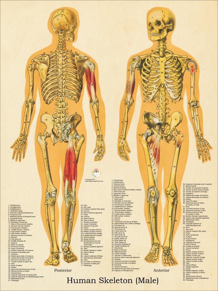 diagram of male skeleton male skeletal system anatomy chart 18 x 24  male skeletal system anatomy chart 18 x 24